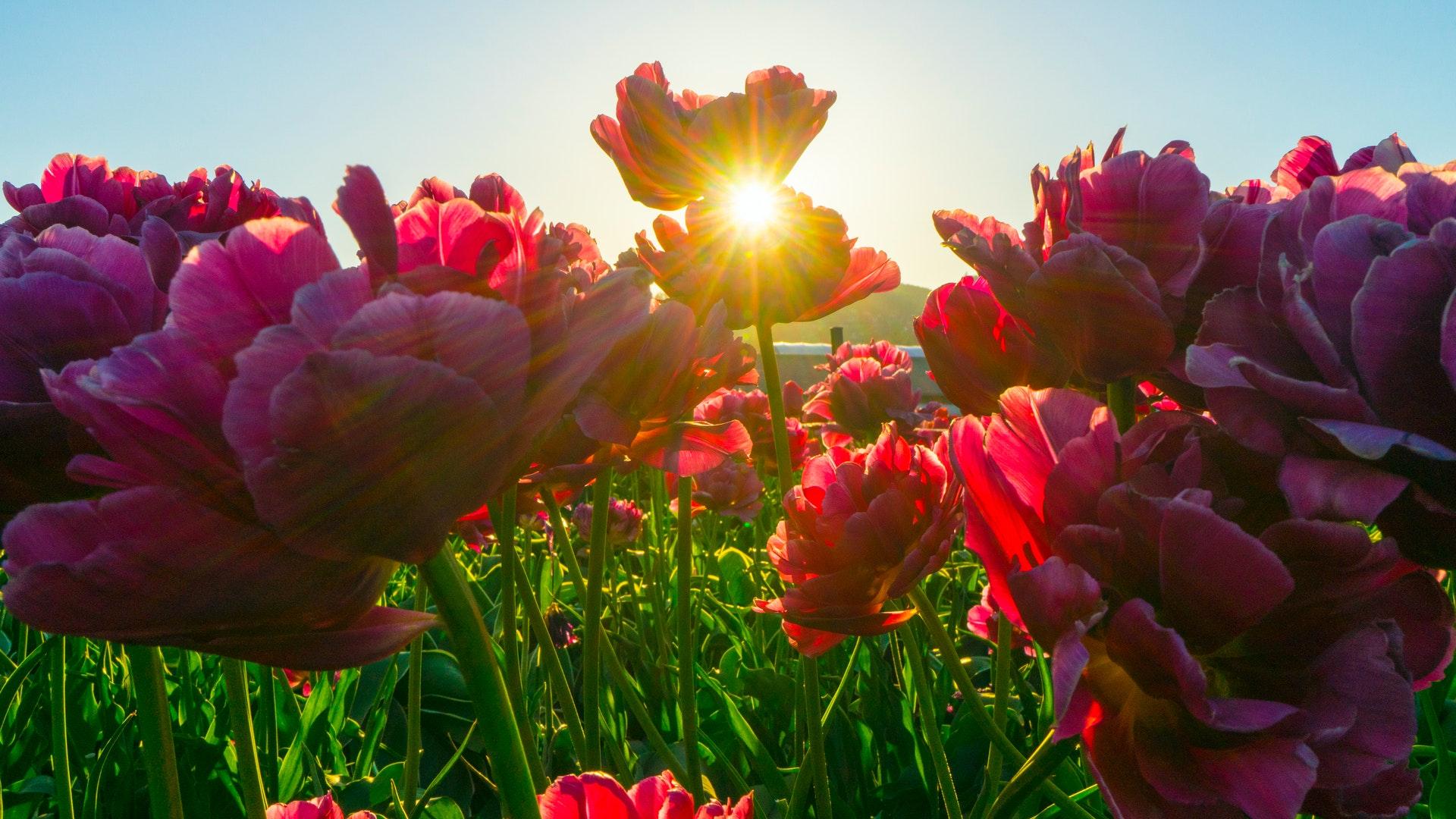 https://martawiecka-nowywiec.pl/tulipomania-czyli-glupota-inwestorow-w-najprostszym-wydaniu/